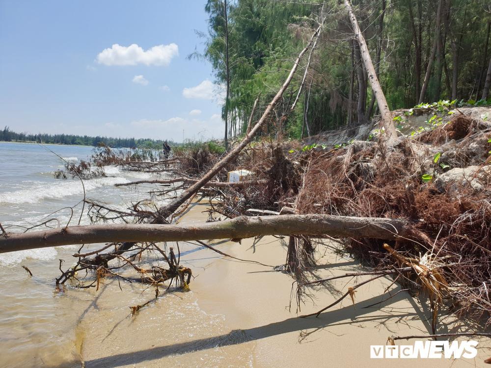 Rừng thông ven bờ Cửa Đại bị sóng biển 'nuốt chửng' Ảnh 9