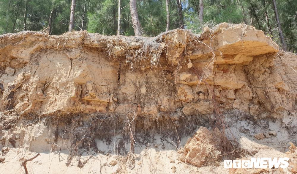 Rừng thông ven bờ Cửa Đại bị sóng biển 'nuốt chửng' Ảnh 11