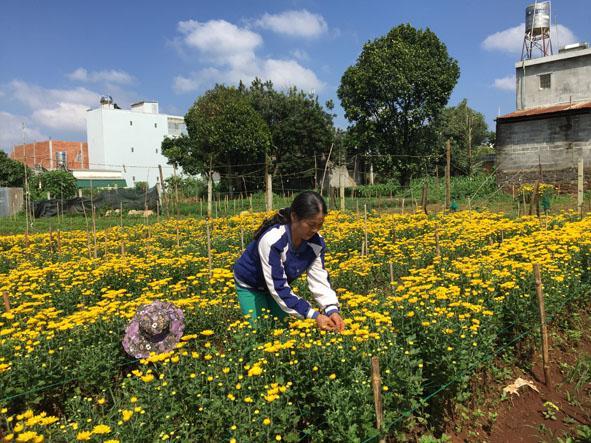 Đắk Nông: Hiệu quả cao khi trồng xen mắc ca với cà phê Ảnh 4