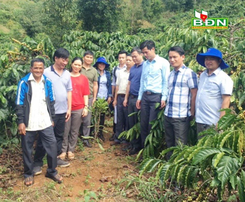 Đắk Nông: Hiệu quả cao khi trồng xen mắc ca với cà phê Ảnh 1