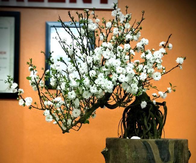 Sành điệu đón Tết cùng mai trắng bonsai Ảnh 1