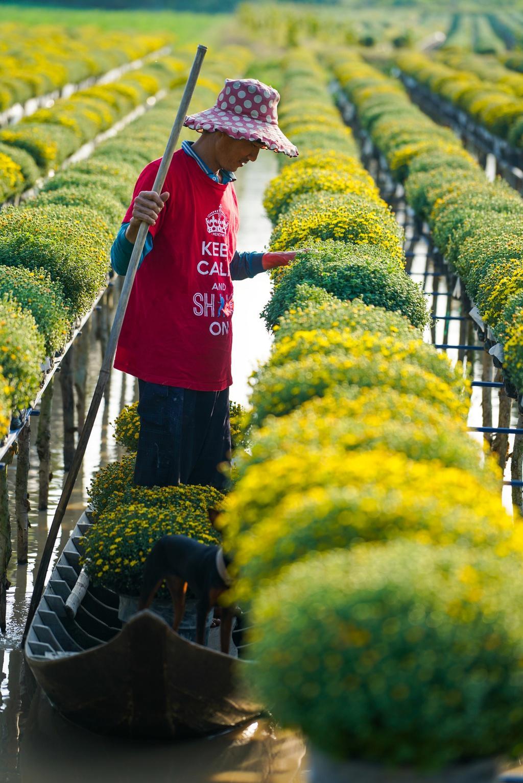 Vườn cúc Sa Đéc rợp sắc vàng những ngày cuối năm Ảnh 6