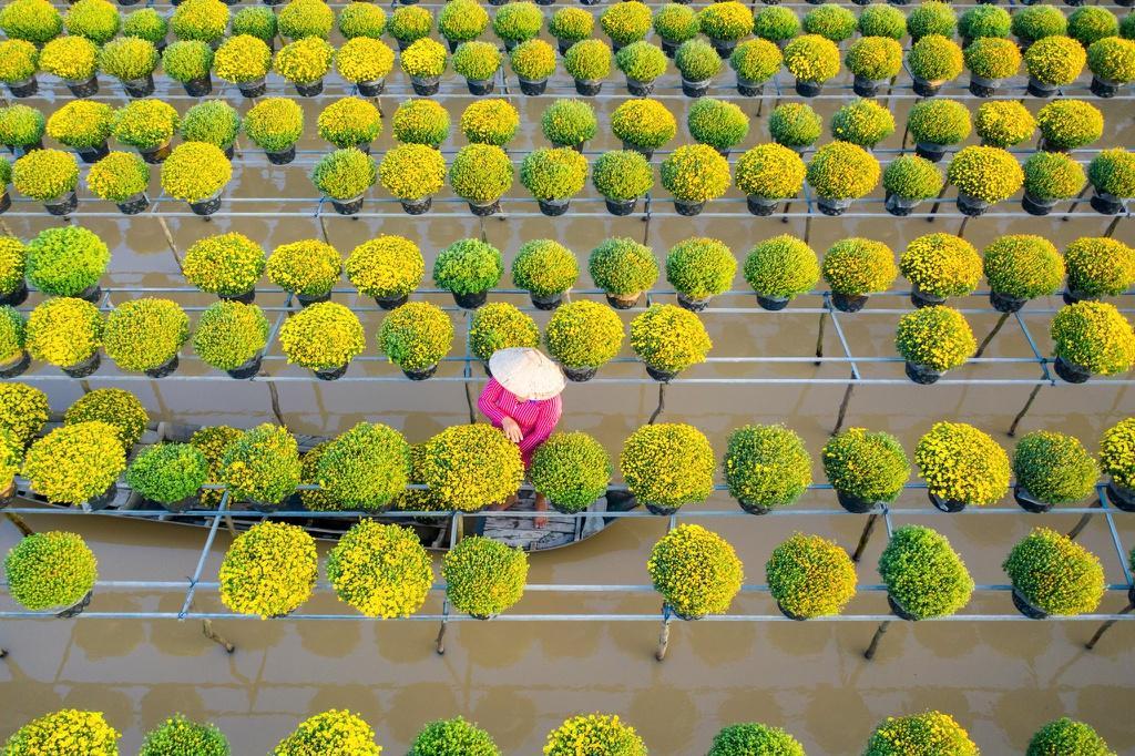 Vườn cúc Sa Đéc rợp sắc vàng những ngày cuối năm Ảnh 7
