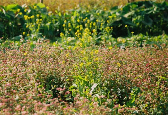 Sắc vàng hoa cải sưởi ấm Hà Giang ngày đông Ảnh 7