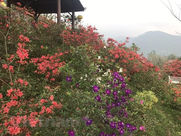 Ngất ngây với Vương quốc hoa Đỗ quyên rực rỡ ở Vĩnh Phúc Ảnh 3