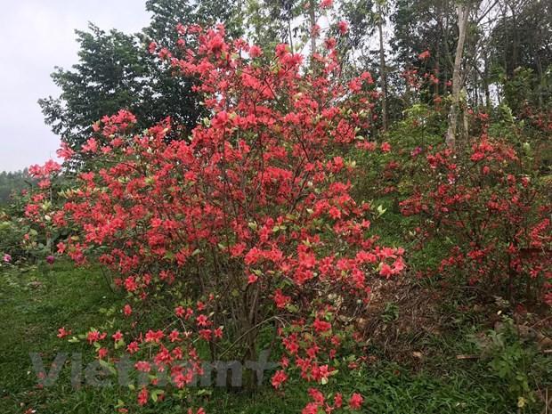 Ngất ngây với Vương quốc hoa Đỗ quyên rực rỡ ở Vĩnh Phúc Ảnh 2