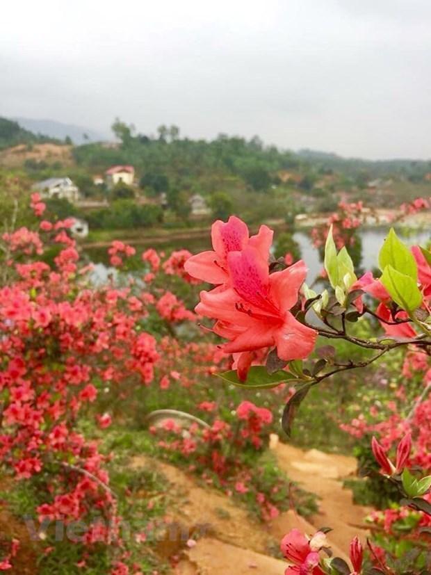 Ngất ngây với Vương quốc hoa Đỗ quyên rực rỡ ở Vĩnh Phúc Ảnh 1
