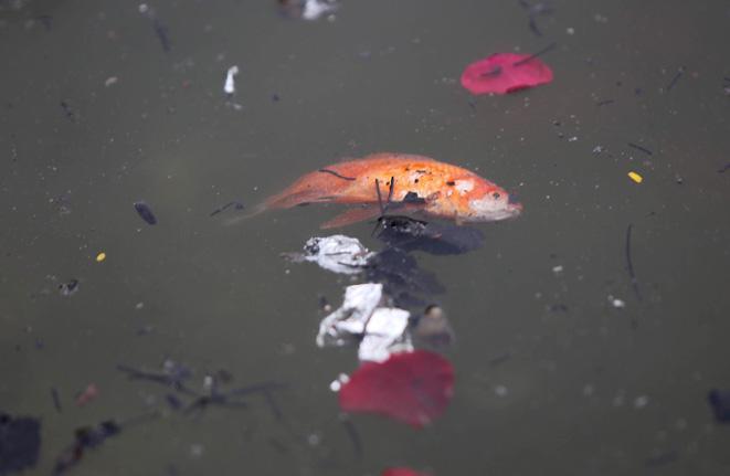Cá chép ông Công, ông Táo ngắc ngoải vì tro, chân hương bị người dân thiếu ý thức thả xuống hồ Ảnh 5