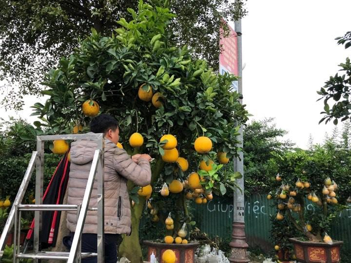 Bưởi diễn Hà Nội về chợ quê miền Trung giá gần 20 triệu đồng/cây hút khách Ảnh 7