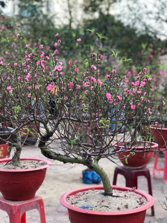 Bưởi diễn Hà Nội về chợ quê miền Trung giá gần 20 triệu đồng/cây hút khách Ảnh 3