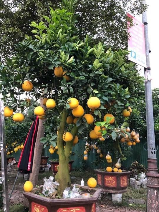 Bưởi diễn Hà Nội về chợ quê miền Trung giá gần 20 triệu đồng/cây hút khách Ảnh 6