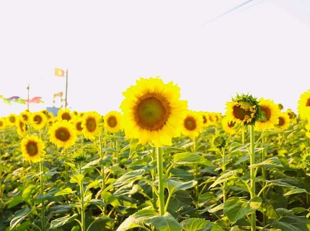Check-in vườn hoa hướng dương rực rỡ ở Đồng Nai ngày đầu năm mới 2020 Ảnh 1