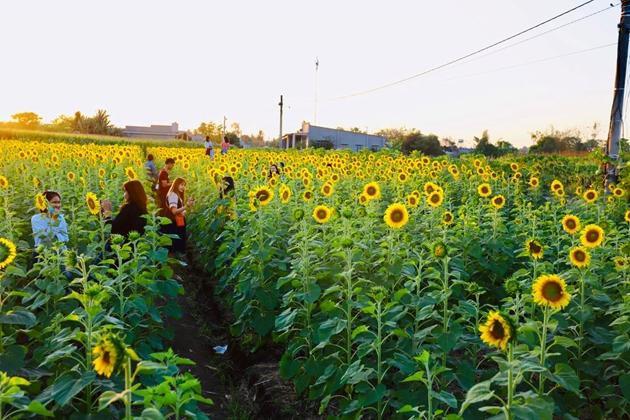 Check-in vườn hoa hướng dương rực rỡ ở Đồng Nai ngày đầu năm mới 2020 Ảnh 10