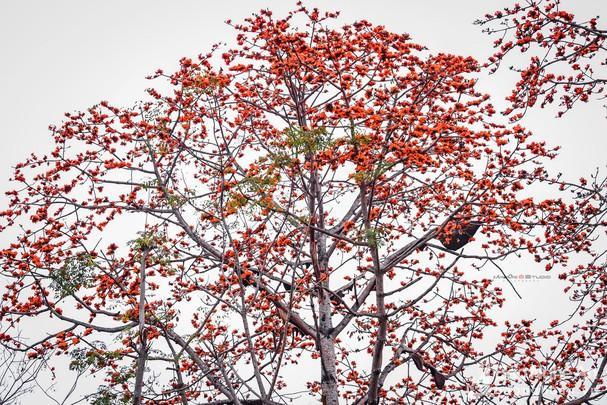 Đẹp ngỡ ngàng cây gạo đỏ rực có gần 30 đàn ong làm tổ ở Nghệ An Ảnh 2