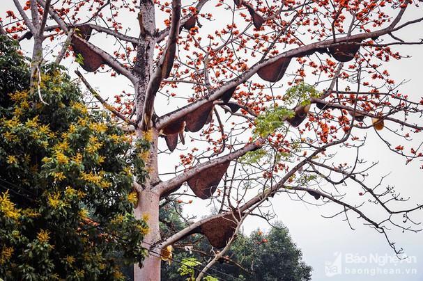 Đẹp ngỡ ngàng cây gạo đỏ rực có gần 30 đàn ong làm tổ ở Nghệ An Ảnh 1