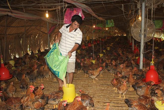 Giá gà rớt thảm, chủ trại lỗ 500 triệu/tháng Ảnh 1