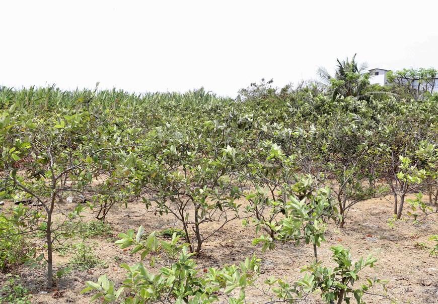 Hình ảnh kênh mương nứt nẻ, cây trồng khô héo ở Tiền Giang Ảnh 6