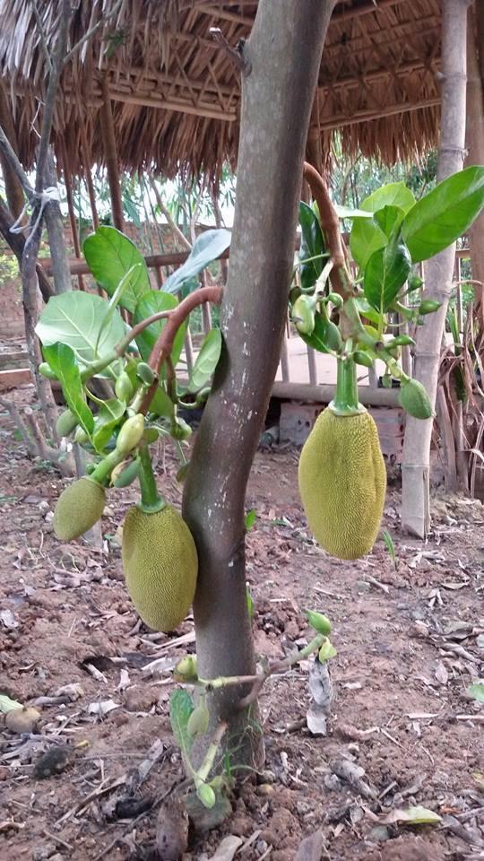 Nhà vườn 10.000m2 của nghệ sĩ Giang còi ngập hoa và trái cây Ảnh 8