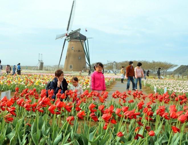 Thành phố Nhật Bản cắt bỏ 100.000 bông tulip vì đông người đến ngắm Ảnh 1