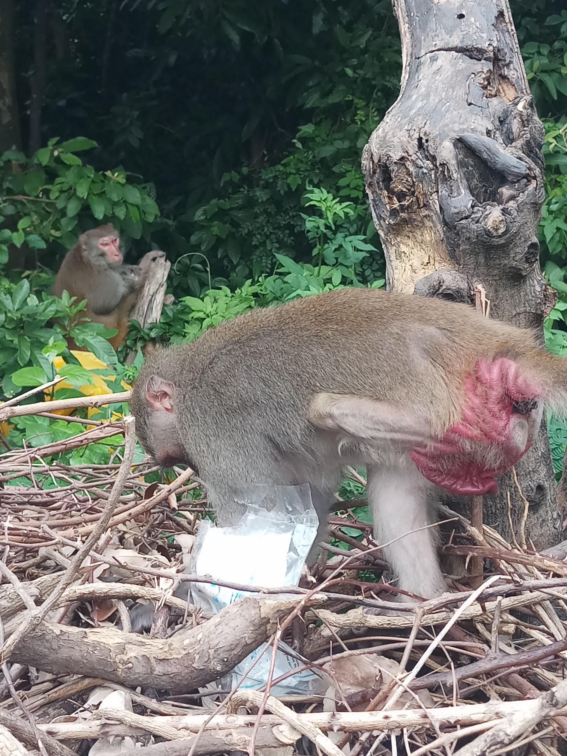 Xót xa những chú khỉ Sơn Trà mình đầy thương tích, cụt tay chân Ảnh 8