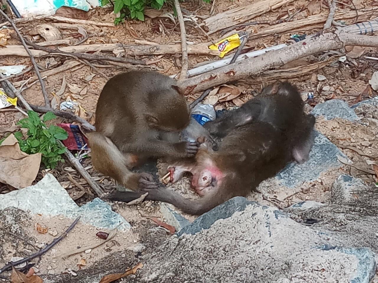 Xót xa những chú khỉ Sơn Trà mình đầy thương tích, cụt tay chân Ảnh 1