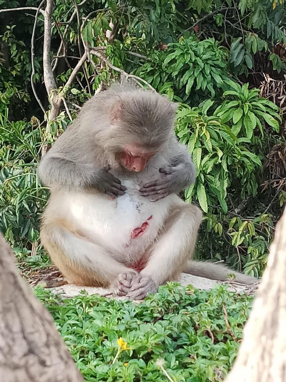 Xót xa những chú khỉ Sơn Trà mình đầy thương tích, cụt tay chân Ảnh 7