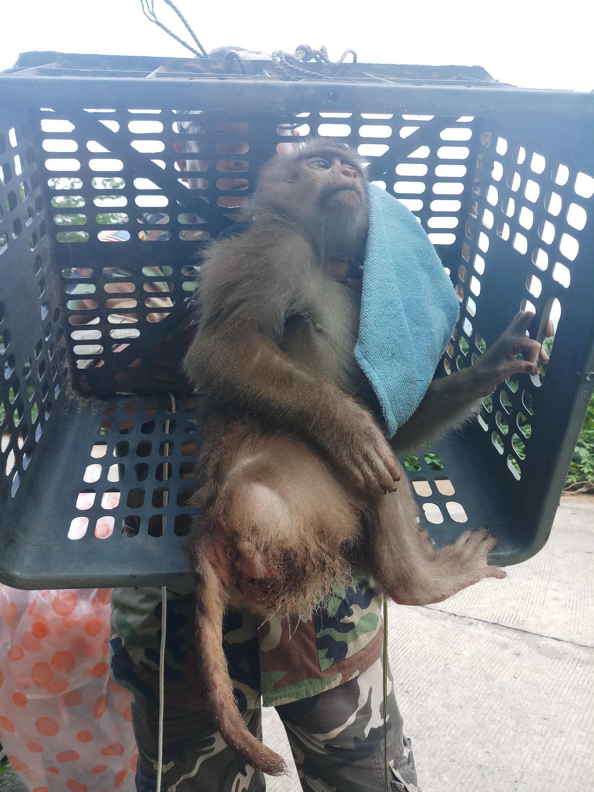 Xót xa những chú khỉ Sơn Trà mình đầy thương tích, cụt tay chân Ảnh 4