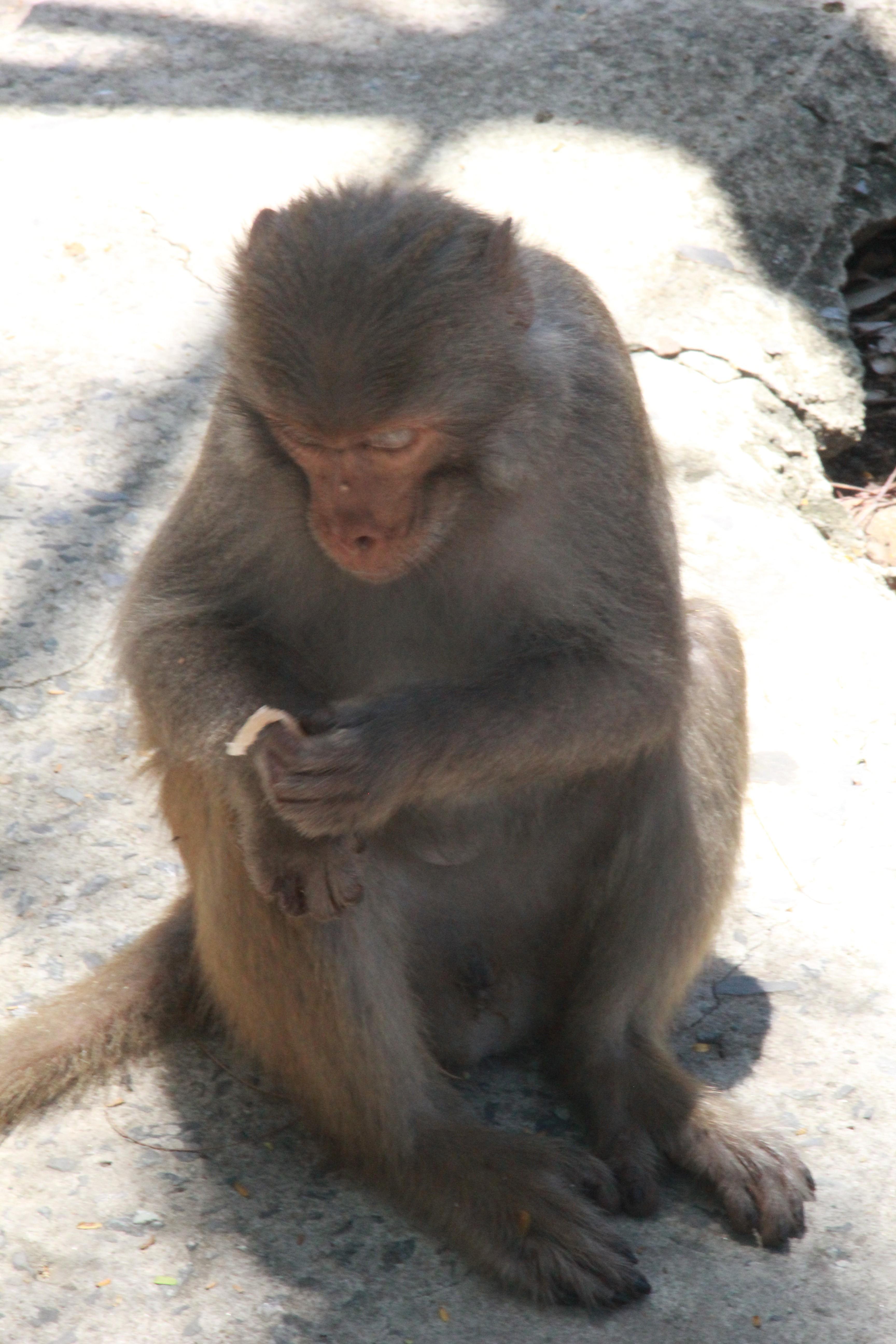 Xót xa những chú khỉ Sơn Trà mình đầy thương tích, cụt tay chân Ảnh 9