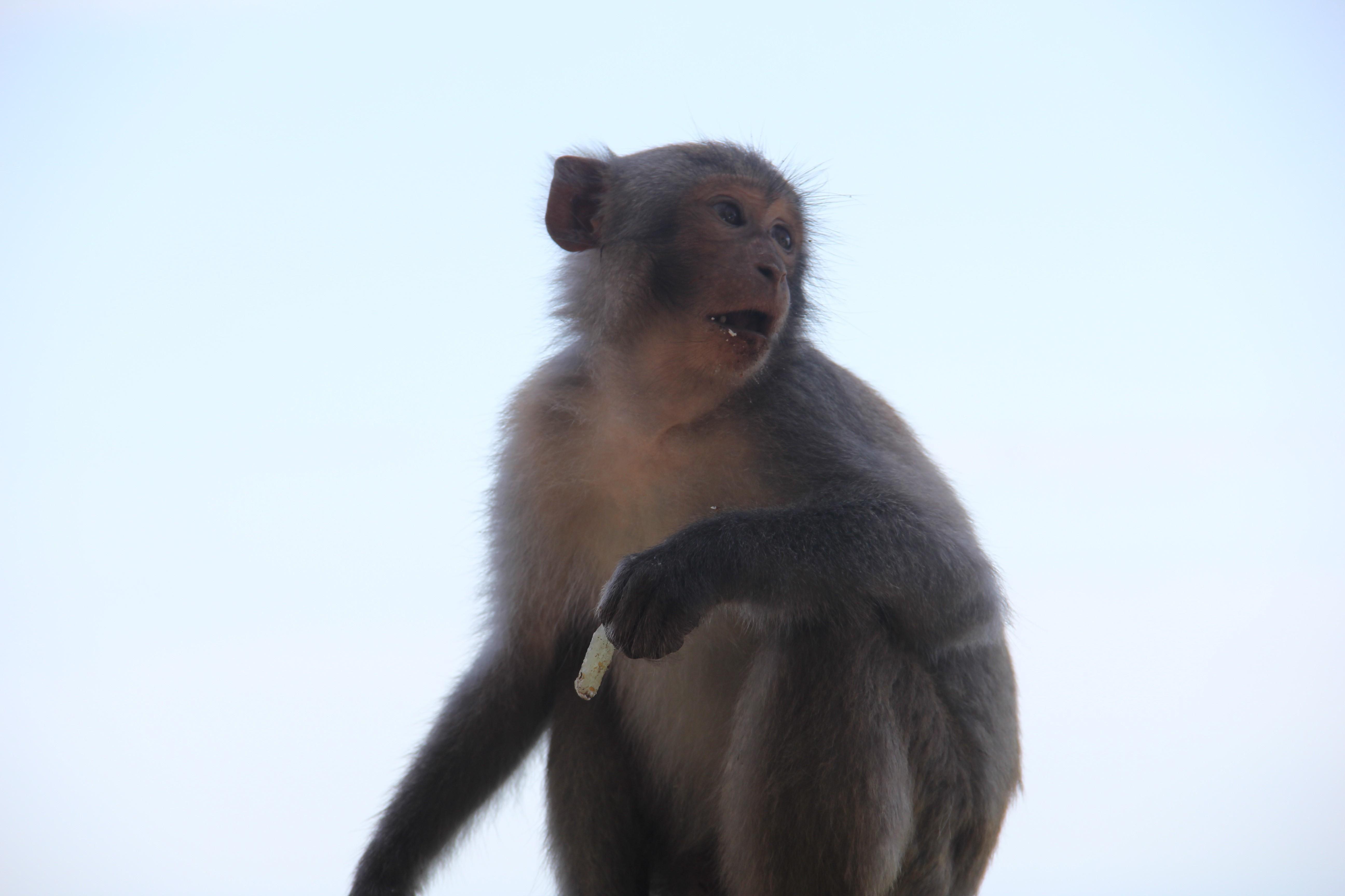 Xót xa những chú khỉ Sơn Trà mình đầy thương tích, cụt tay chân Ảnh 10