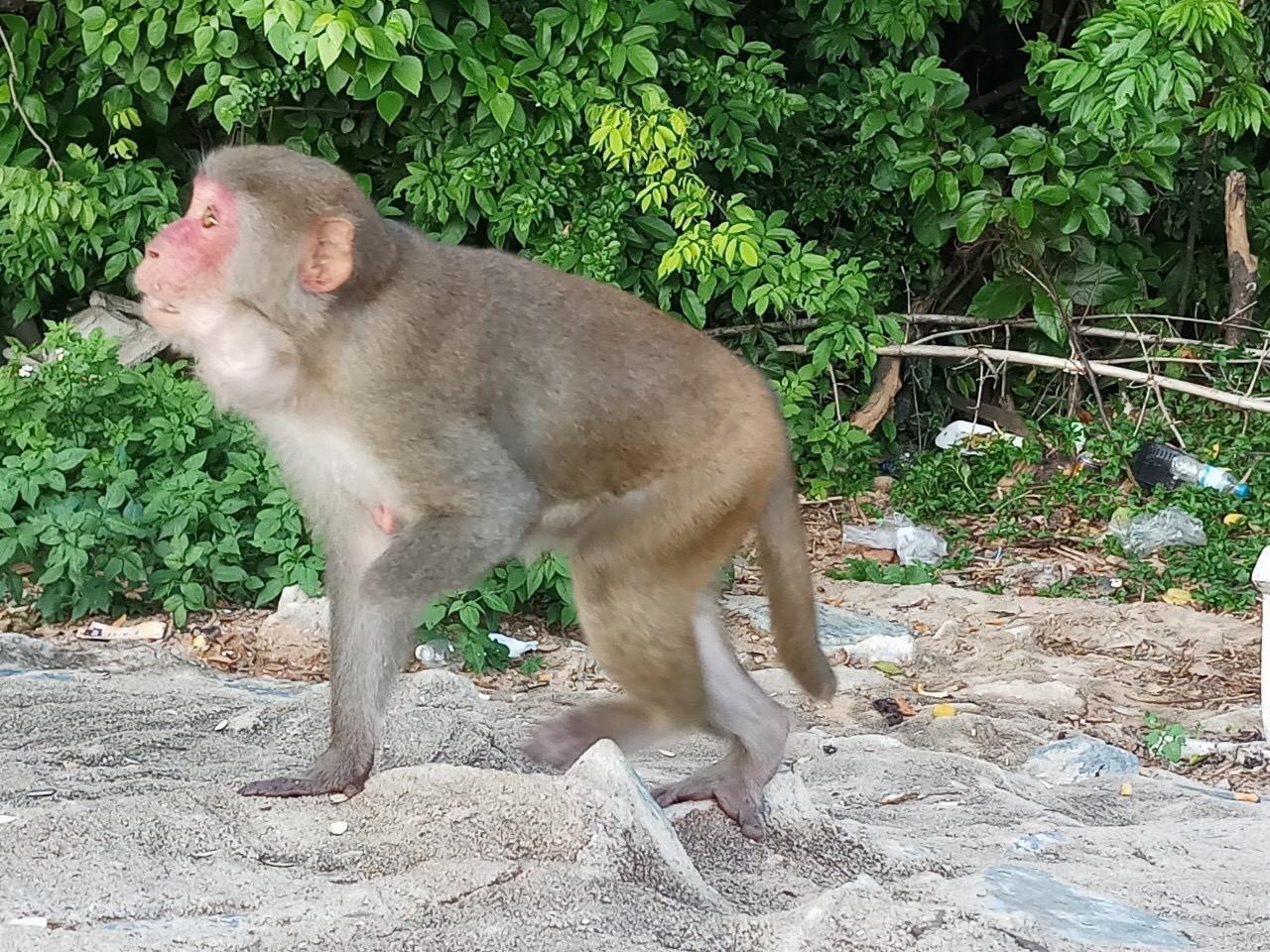Xót xa những chú khỉ Sơn Trà mình đầy thương tích, cụt tay chân Ảnh 6
