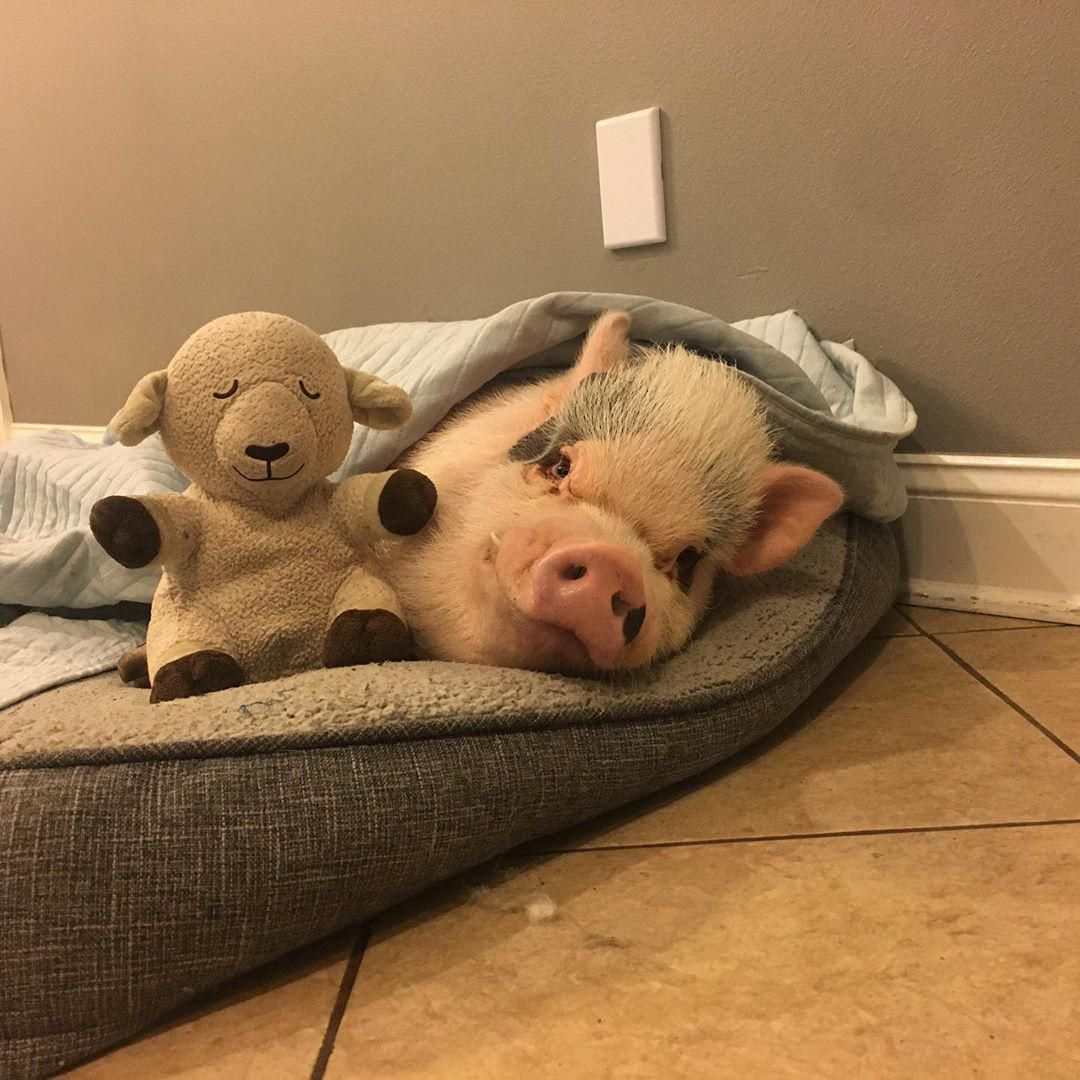 Chú lợn tí hon thu hút nửa triệu follow qua đời vì biến chứng phẫu thuật Ảnh 5