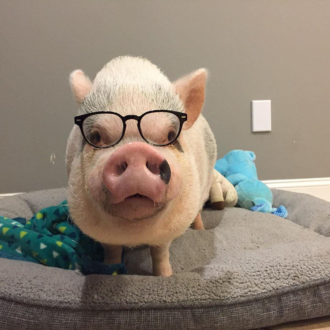 Chú lợn tí hon thu hút nửa triệu follow qua đời vì biến chứng phẫu thuật Ảnh 3