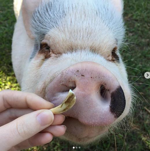 Chú lợn tí hon thu hút nửa triệu follow qua đời vì biến chứng phẫu thuật Ảnh 2