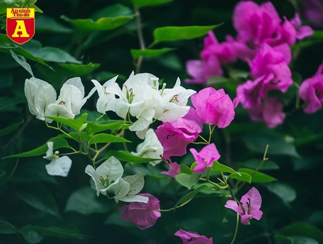Hoa giấy bung nở khoe sắc ở Hà Nội Ảnh 6