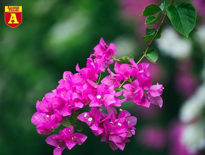 Hoa giấy bung nở khoe sắc ở Hà Nội Ảnh 3