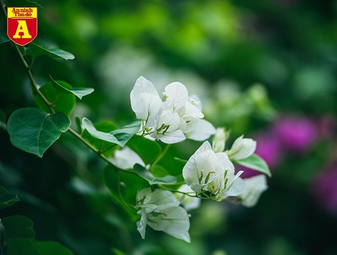 Hoa giấy bung nở khoe sắc ở Hà Nội Ảnh 5