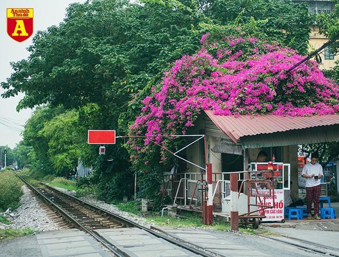 Hoa giấy bung nở khoe sắc ở Hà Nội Ảnh 11