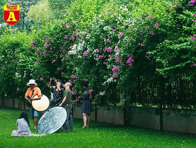 Hoa giấy bung nở khoe sắc ở Hà Nội Ảnh 16
