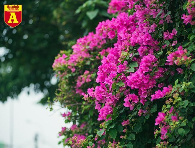 Hoa giấy bung nở khoe sắc ở Hà Nội Ảnh 9