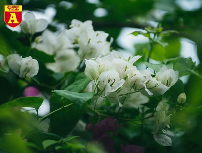 Hoa giấy bung nở khoe sắc ở Hà Nội Ảnh 4