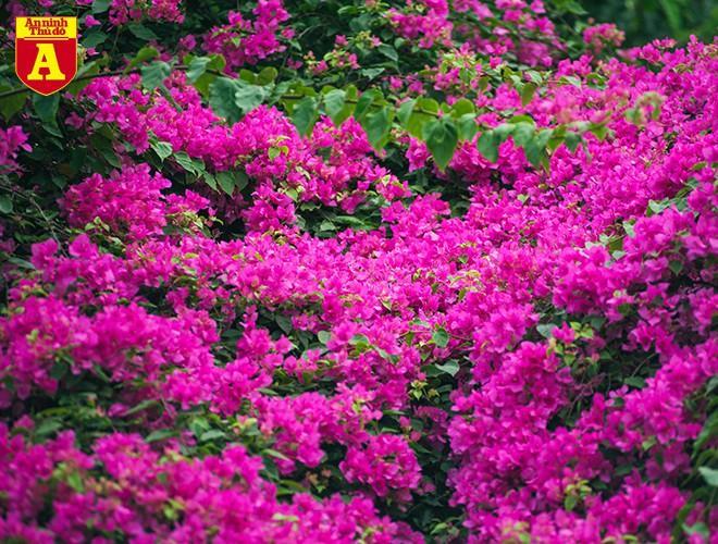 Hoa giấy bung nở khoe sắc ở Hà Nội Ảnh 2