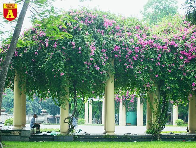 Hoa giấy bung nở khoe sắc ở Hà Nội Ảnh 13