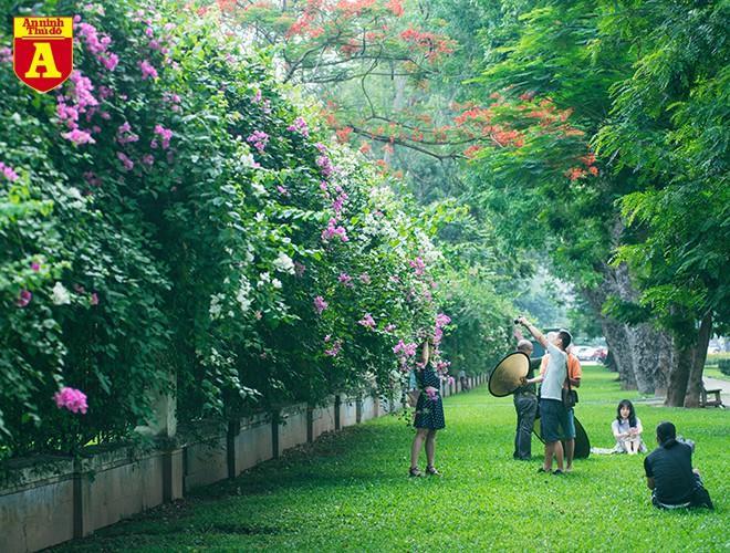 Hoa giấy bung nở khoe sắc ở Hà Nội Ảnh 15