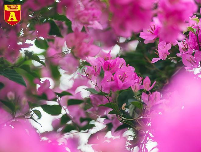 Hoa giấy bung nở khoe sắc ở Hà Nội Ảnh 8