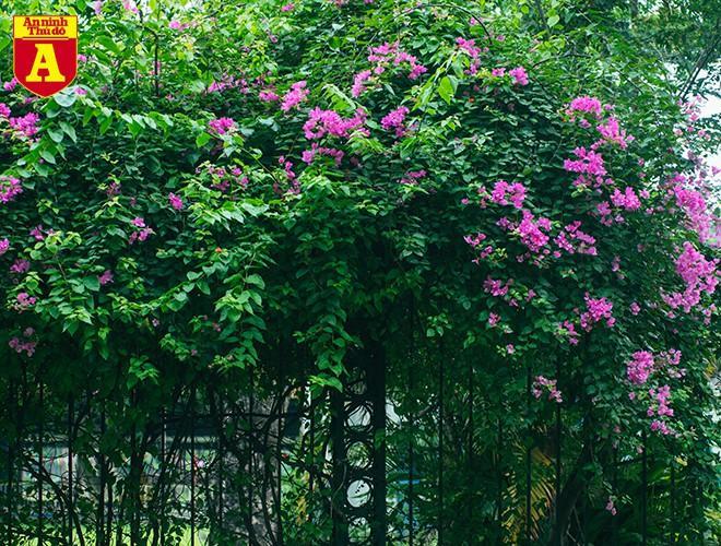 Hoa giấy bung nở khoe sắc ở Hà Nội Ảnh 14