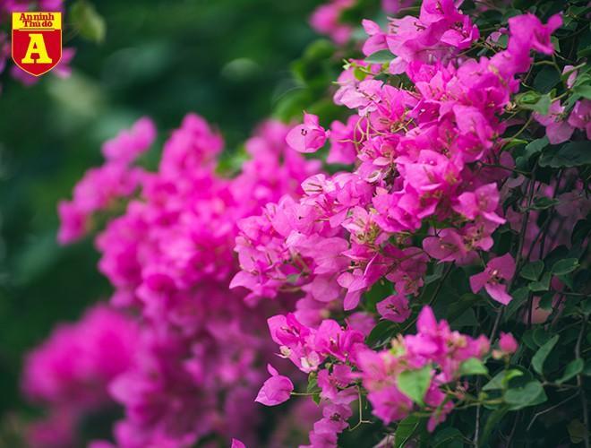 Hoa giấy bung nở khoe sắc ở Hà Nội Ảnh 7