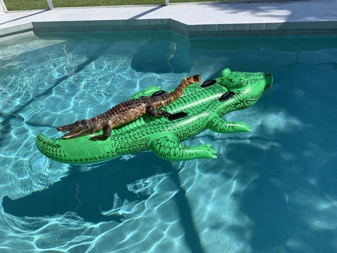 Cá sấu thật cưỡi cá sấu mô hình, nằm thư giãn trong hồ bơi Ảnh 1