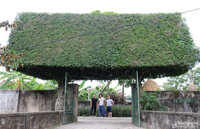 Độc đáo cổng nhà làm từ 2 cây duối cổ thụ ở Nghệ An Ảnh 3