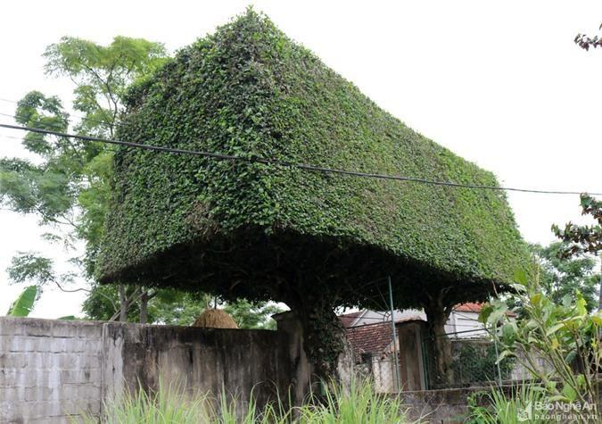 Độc đáo cổng nhà làm từ 2 cây duối cổ thụ ở Nghệ An Ảnh 4