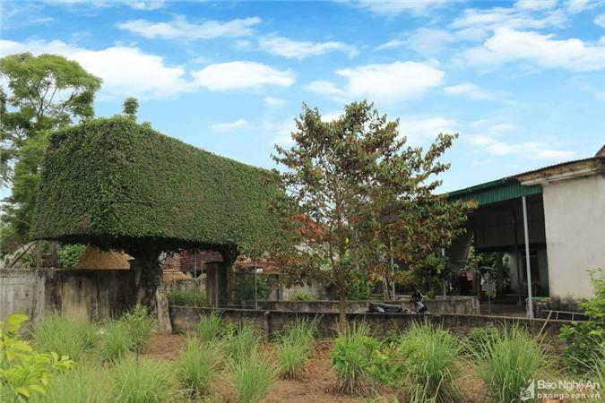 Độc đáo cổng nhà làm từ 2 cây duối cổ thụ ở Nghệ An Ảnh 8